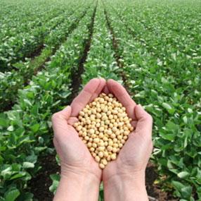 Hender som holder soyabønner, med en åker i bakgrunn.
