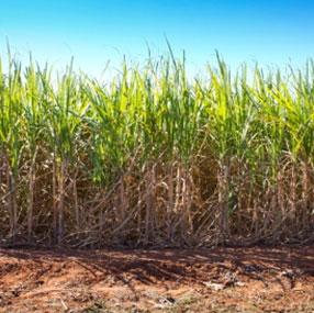 Bilde av sukerrør. Fotografi.